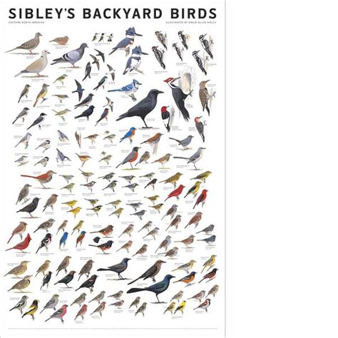Backyard Birds Of America by Sibley S Backyard Birds Of Eastern America Poster