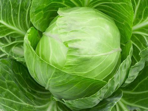 Cabbage Medicinal And Cosmetic Value by Cabbage11