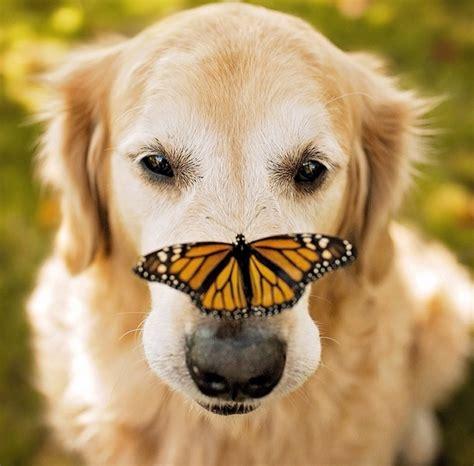 golden retriever instagram gentle golden retriever on instagram butterflies and metro news