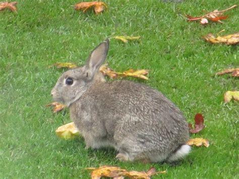 backyard rabbits triyae com wild backyard rabbits various design