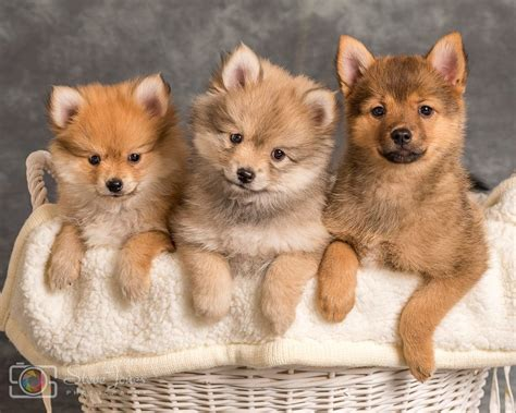 pomsky puppies for sale in illinois pin pomsky puppies for sale 830306 results on