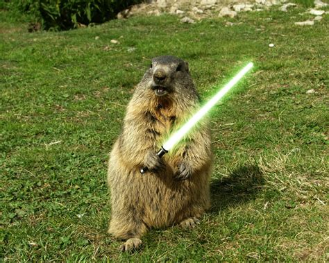 I A Groundhog In Backyard by Lightsaber Humor Sword Grass Woodchuck Animals