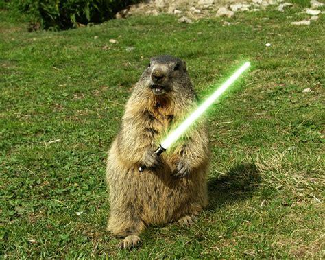 groundhog day like lightsaber humor sword grass woodchuck animals