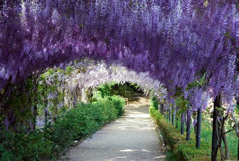 wisteria flower tunnel wisteria tunnel wedding www imgkid com the image kid