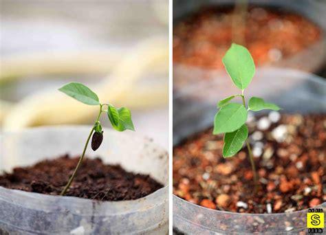 how to grow custard apple mybigsfarm
