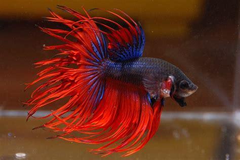 cara membuat pakan anak ikan cupang blog jenis ikan 7 gambar jenis dan cara ternak ikan