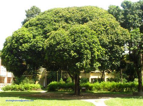 College Trees - panoramio photo of homna degree college bakul tree
