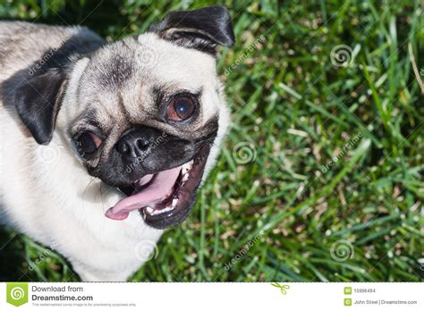 how to a pug to outside pug puppy outside in grass stock images image 15996494