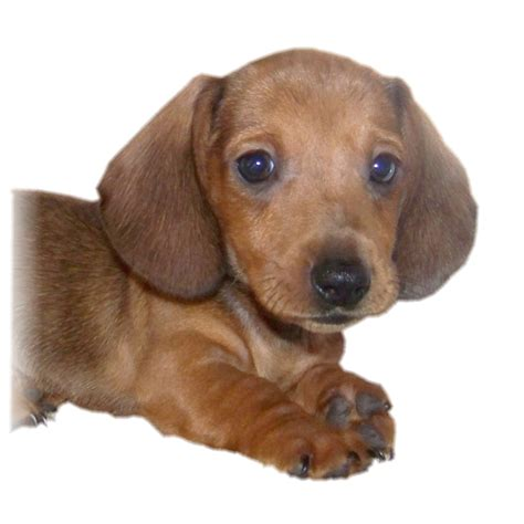 weiner puppy puppy dogs dachshund puppies