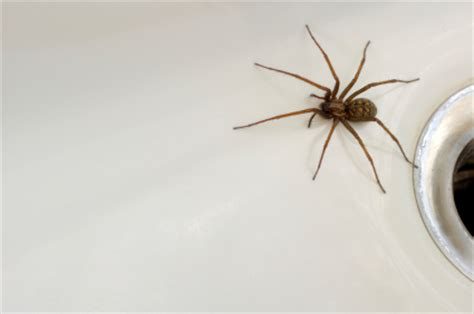 big spider in bathroom the truth about spiders in your bath debugged