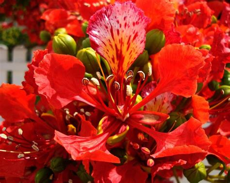 Delonix Set hermosa flor de flamboyan quot 193 rbol de fuego quot yucat 225 n