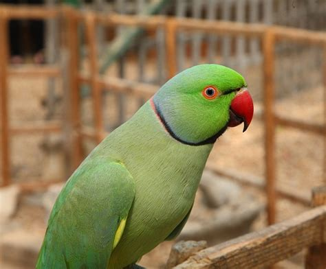 ringneck parakeet facts pet care temperament diet pictures singing wings aviary