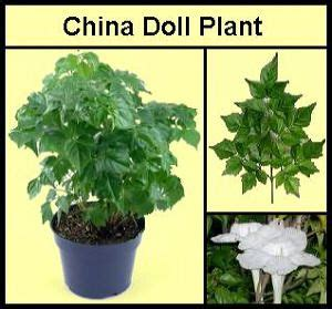 china doll names 201 best images about house plants on