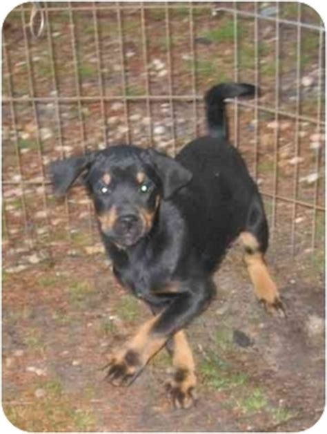 rottweiler rescue nj willow adopted puppy hammonton nj rottweiler labradoodle mix