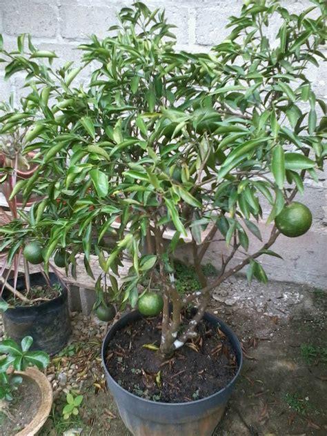 Bibit Unggul Lemon Tea kebun buah kuansing bibit tanaman buah