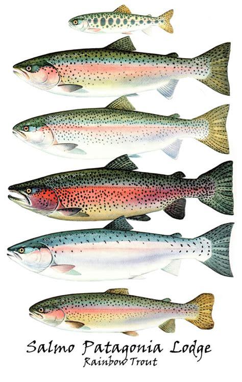 big rainbow trout newhairstylesformen2014 com