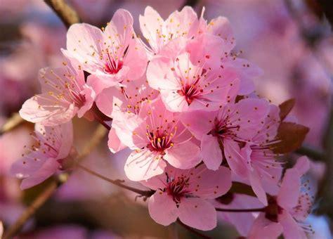 imagenes cerezo japones significado del arbol de cerezo buscar con google flor