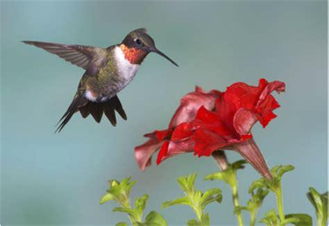 annuals for hummingbird gardens maine garden ideas