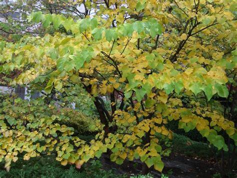 red bud tree in the fall season photo hubert steed