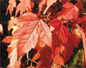 maple tree calgary the city of calgary yardsmart trees and shrubs