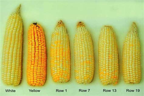 contoh jagung 1273f5 mongabay co id