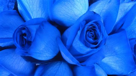 light blue and white roses blue rose wallpapers hd free download
