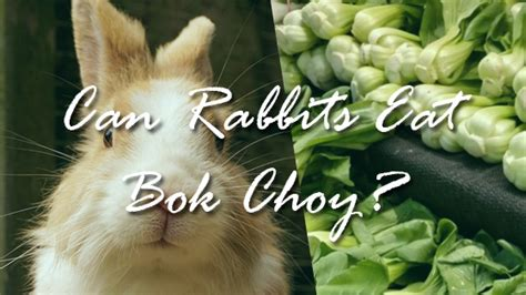 can dogs eat bok choy can rabbits bok choy pet consider