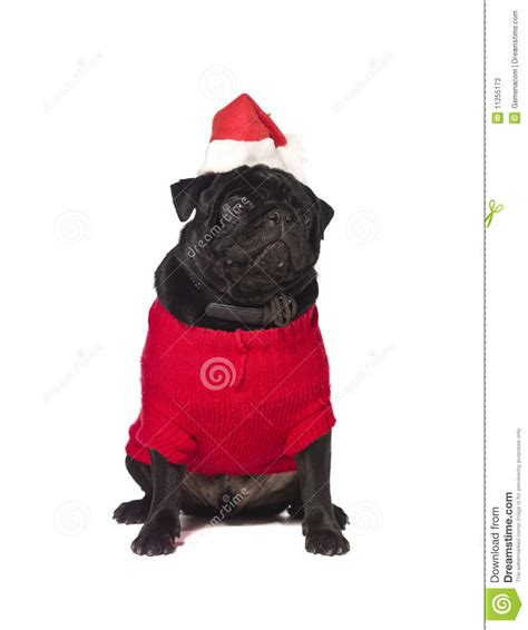 black pug clothing black pug with a dress stock photos image 11255173