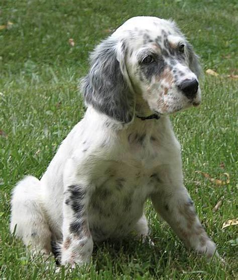 setter puppies the setter puppies daily puppy