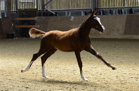 hanoverian horses for sale figlia delle stelle for sale 163 5 500