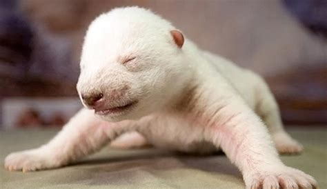 what causes newborn puppies to die newborn polar bears die at toronto zoo cause unknown