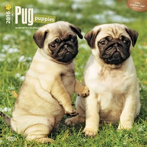 pug puppy rescue pugs dogbreed gifts pug calendars