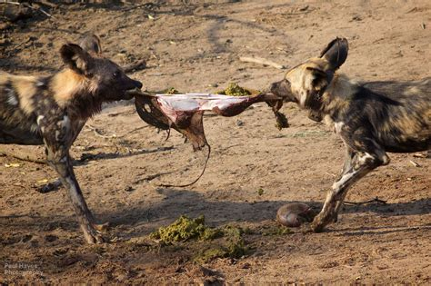 grass frantically dogs make a kill hluhluwe imfolozi park south africa