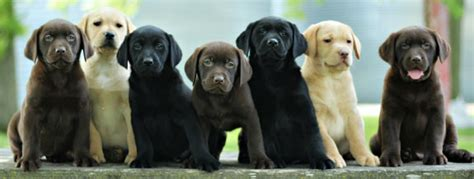 lab puppies rochester ny silver lab puppies rochester ny 4k wallpapers