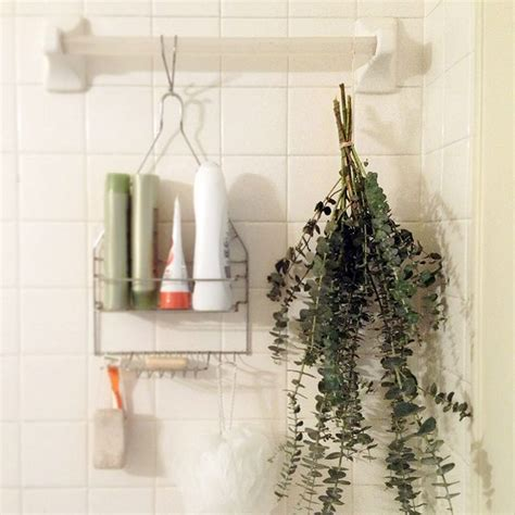 Bathroom Plants Smell 26 Best Images About Eucalyptus Uses On Plants