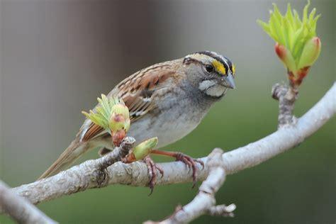sparrow vs finch back yard biology