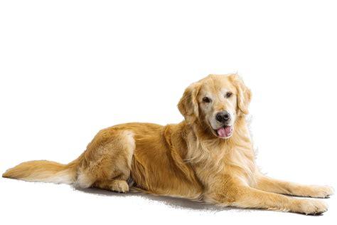 name for golden retriever golden retriever petmapz by dr katz your veterinarian endorsed pet community