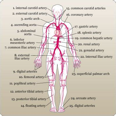 labeled artery diagram labeled diagram of the major arteries in the human