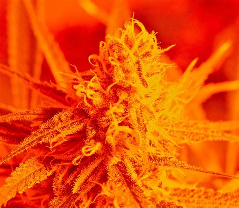 How To Grow Top Shelf by Top Shelf Marijuana Sells For 470 An Ounce Here S How To