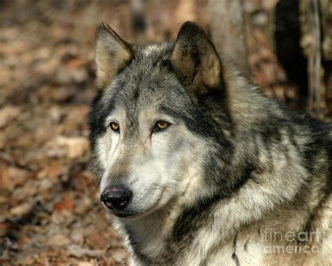alaskan wolf pin timber wolf large image on