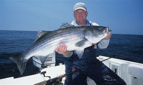 striper boats any good striped bass lures deanlevin info