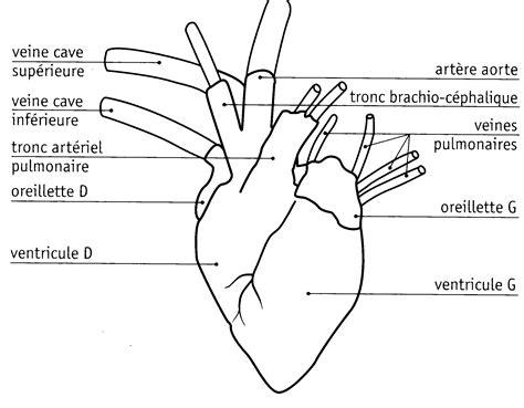 sillon interventriculaire dissection d un coeur svt lille