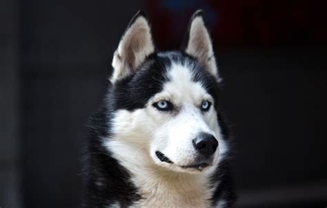 husky wallpaper blue eyes wallpaper white dog black danger husky cute blue