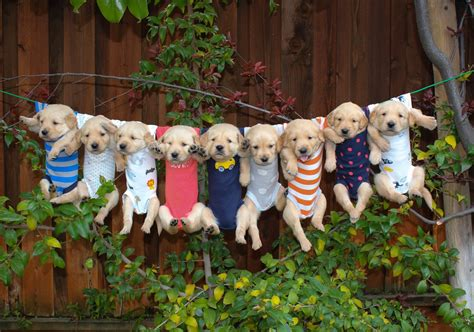 free golden retriever pups most adorable golden retriever puppies oceans of by didipop
