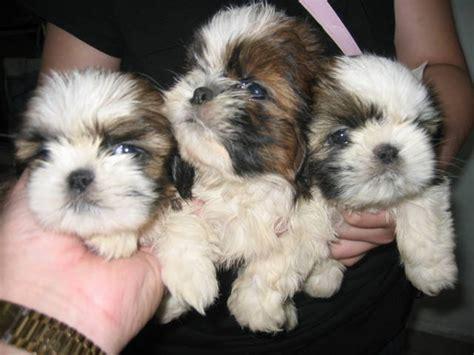 shih tzu dubai shih tzu puppies in dubai breeds picture