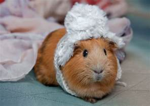 Guinea Pig Hutch Croydon Vets Give Helpful Tips For Looking After Guinea