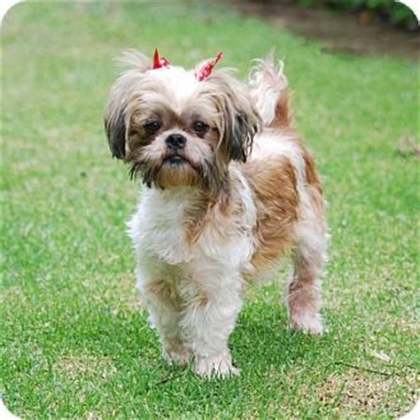 shih tzu rescue los angeles los angeles ca shih tzu mix meet gabriella a for adoption