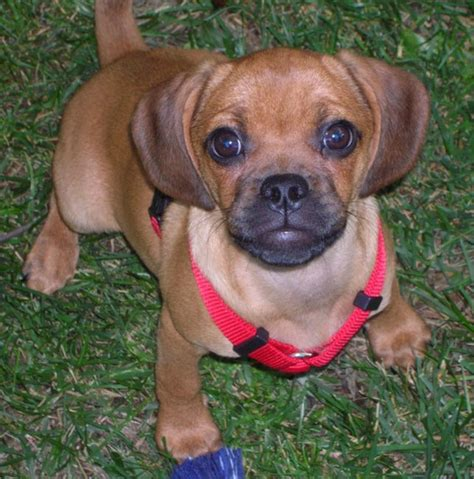 puggle dogs puggle puppies on puggle information and pictures puggle breeds picture