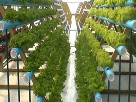 Vertical Garden Lettuce by Hydroponic Lettuce Experiment Vertical Growing