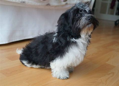 havanese information havanese information and havanese pictures breeds picture